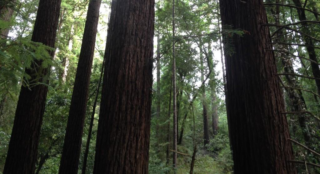 Woods in Bonny Doon
