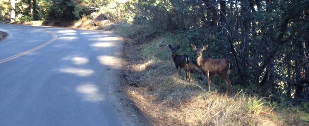 Deer on Swanton Road